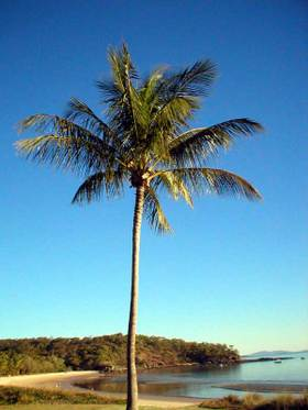 Great_kepple_island_palm
