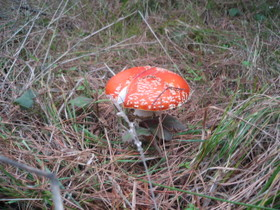 Santa_claus_mushroom_2